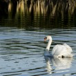 Single muted swan swimming and looking at the camera. — Stock Photo