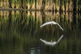 Zilverreiger bogen over water — Stockfoto