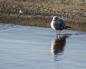 Seagull on the waters edge — Stock Photo