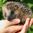 Hedgehog - Foto de Stock