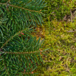 Fir and moss — Stock Photo