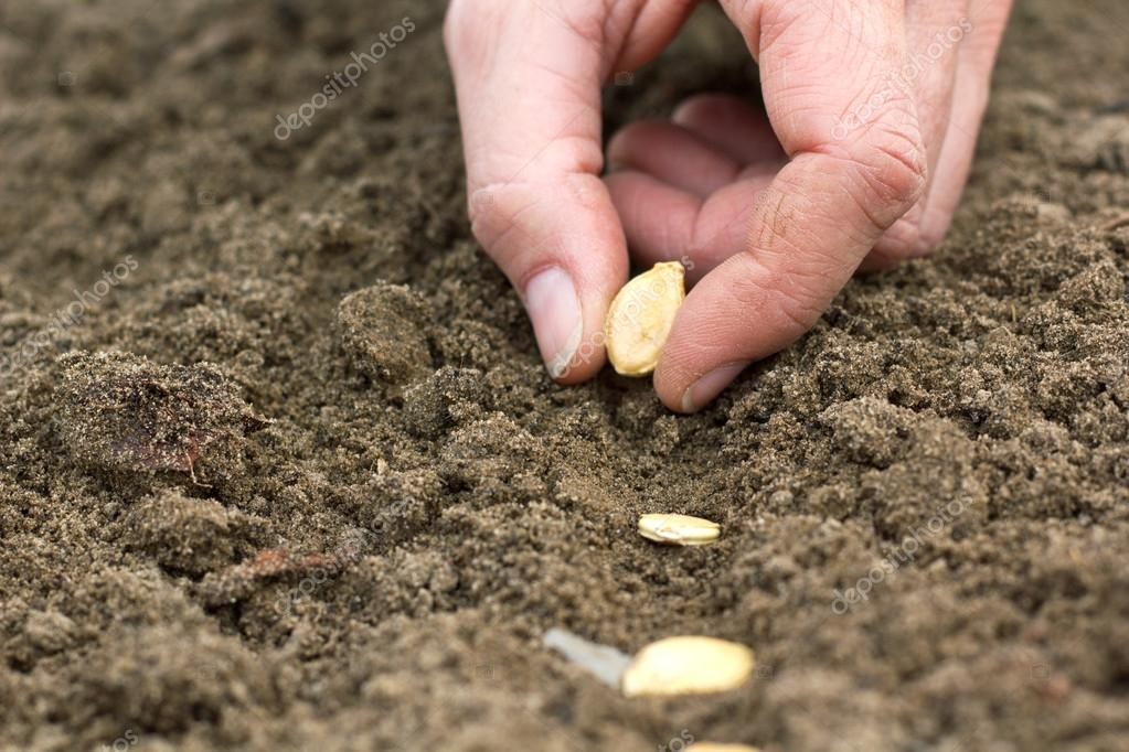 Как сажать пророщенное семян