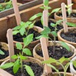 Tomato plant — Stock Photo #44578623