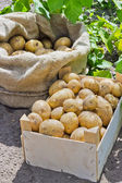 Potato variety Satina — Stock Photo