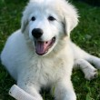 White Sheepdog puppy playing — Stock Photo