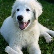 White Sheepdog puppy playing - Stock Photo