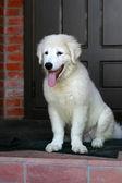 Ritratto di cucciolo di cane da pastore bianco con la lingua fuori — Foto Stock