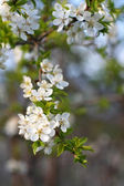 Gren med blossom apple — Stockfoto