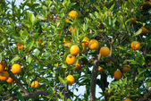 Orange obstbaum mit orangen — Stockfoto