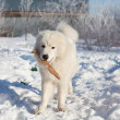 Royalty-Free Stock Photo: White young patrol Sheepdog with a stick in his mouth in the gar