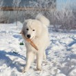 White young patrol Sheepdog with a stick in his mouth in the gar - Stock Photo