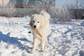 White young patrol Sheepdog with a stick in his mouth in the gar — Stock Photo