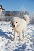 White young patrol Sheepdog with a stick in his mouth on a sunny — Stock Photo