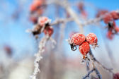 Dog rose berries with icicles and snow, in winter — Stock Photo