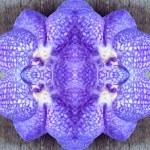 Art floral colorful background, Vanda coerulea blue orchids, clo — Stock Photo #22119223
