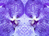 Vanda coerulea blue orchids flower reflected symmetrically, clos — Stock Photo