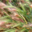 Green wheat field that has begun to ear, background — Stock Photo