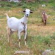 Photo: White goat grazed on a green meadow with flowers