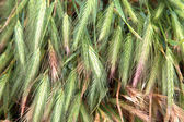 Green wheat field that has begun to ear — Stock Photo