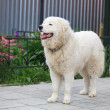 Maremma or Abruzzese patrol dog Portrait in the garden — Stock Photo