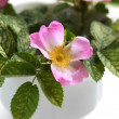 Pink flowers blooming dogrose in a white cup — ストック写真