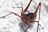 Macro of a red grasshopper — Foto Stock