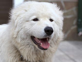 Maremma of abruzzese patrouille hond portret — Stockfoto