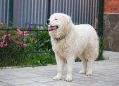 Ritratto di cane pattuglia Maremma o abruzzese in giardino — Foto Stock