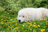 Maremma or Abruzzese sheepdog Portrait in the garden — Stock Photo