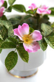 Pink flowers blooming dogrose in a white cup — Stock Photo