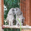 Great Grey Owls — Stock Photo