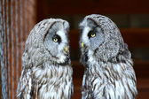 Great Grey Owls, selective focus — Stock Photo