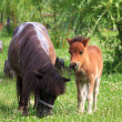 Two mini horses Falabella on meadow in summer, selective focus — Stock Photo #27528015
