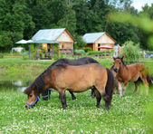 Falabella Foal mini horses grazing on a green meadow, selective — Stock Photo