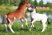 Two mini horses Falabella playing on meadow, selective focus — Stock Photo