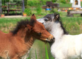 Two mini horses Falabella playing on meadow, bay and white, sele — Stock Photo