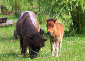 Two mini horses Falabella on meadow in summer, selective focus — Stock Photo