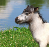 Head of mini horse Falabella on meadow in summer — Stock Photo