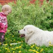 Little cute toddler girl playing with big white shepherd dog, se — Stock Photo