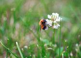 Bumblebee on the white clover trefoil flower — Stock Photo