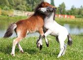 Deux mini chevaux falabella jouant sur la prairie, la baie et blanc sele — Photo