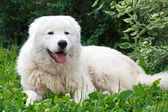 Maremma or Abruzzese patrol dog resting under a bush on the gras — Stok fotoğraf