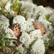 Reindeer lichen (moss) and two cones under natural conditions — Stock Photo #29072419
