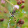 Stock Photo: Wasp spider (Argiope bruennichi) on his web