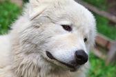 Maremma or Abruzzese patrol dog portrait on the grass — Stock Photo
