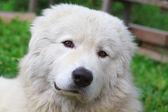 Maremma nebo abruzzese hlídka psa odpočívá pod keř — Stock fotografie