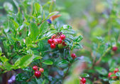 Closeup of branch of cowberries growing in the moss — Stock Photo