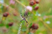 Wasp spider (Argiope bruennichi) on his web — Stock Photo