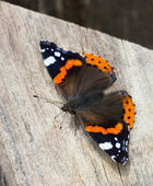 Top view of a Red Admiral butterfly, Vanessa atalanta — Stock Photo