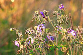 Meadow geranium — Stock Photo
